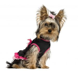 Dog personality pampered yorkie in black and pink outfit